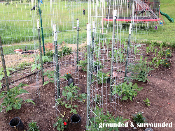 If you need something sturdy and cost effective to trellis your tomatoes, I highly recommend this method. We tried it last year with great success. Our plants were huge, and the trellis held them perfectly. We were able to get the stakes for free, and reuse some old fencing. Yay for frugal gardening ideas!