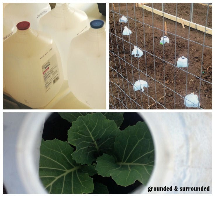 There are so many uses for milk jugs in the garden. My favorite use is to cut the bottom out and use them to protect fragile seedlings right after they are transplanted into the garden. I save milk jugs all year long and save money in my garden. http://www.groundedandsurrounded.com/10-seed-starting-garden-hacks/