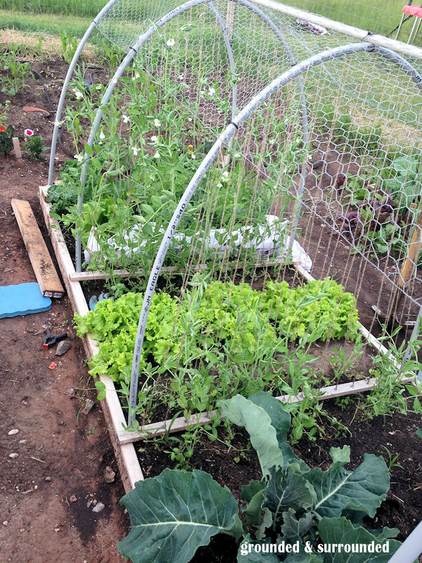 Hoop houses from PVC pipe for Frugal GARDENING ideas