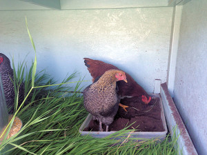 Chickens bathe in dirt. Something I never knew before. They are hilarious to watch rolling and fluffing in the dirt.