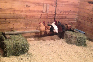 Chickens point their tailfeathers down when they are sleeping, and compete for a warm spot in the middle of the group.