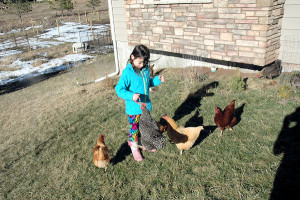 Lessons we learned our first year raising backyard chickens. Considering chickens? I hope that this article will convince you to take the leap.