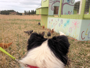 Lessons we learned our first year raising backyard chickens. Considering chickens? I hope that this article will convince you to take the leap