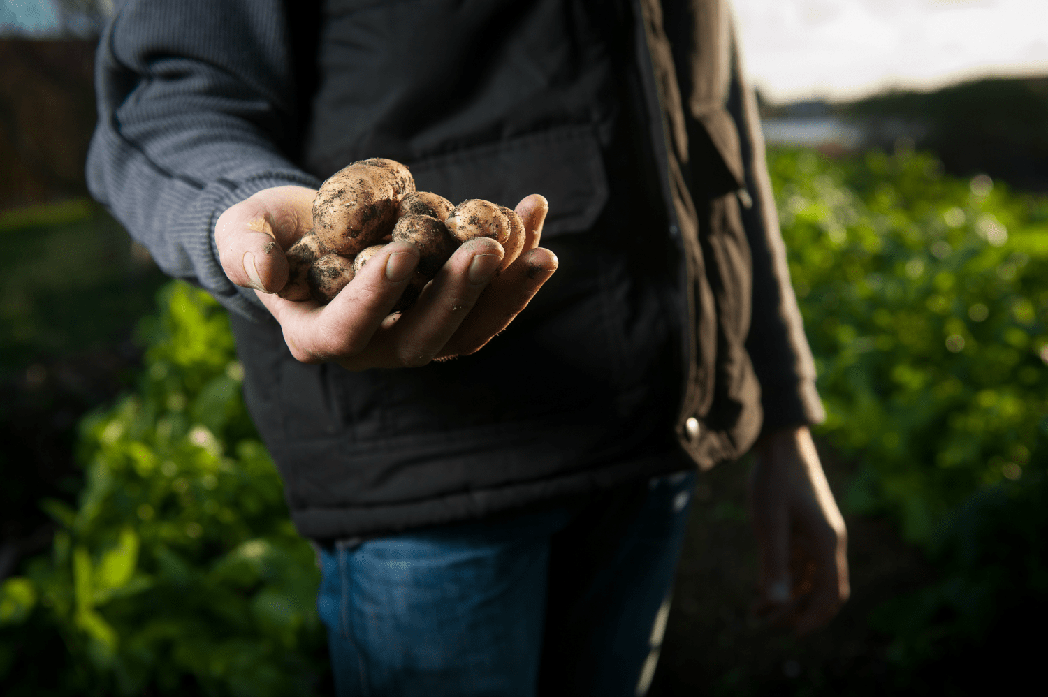 A man holding a harvest of potatoes in his field.