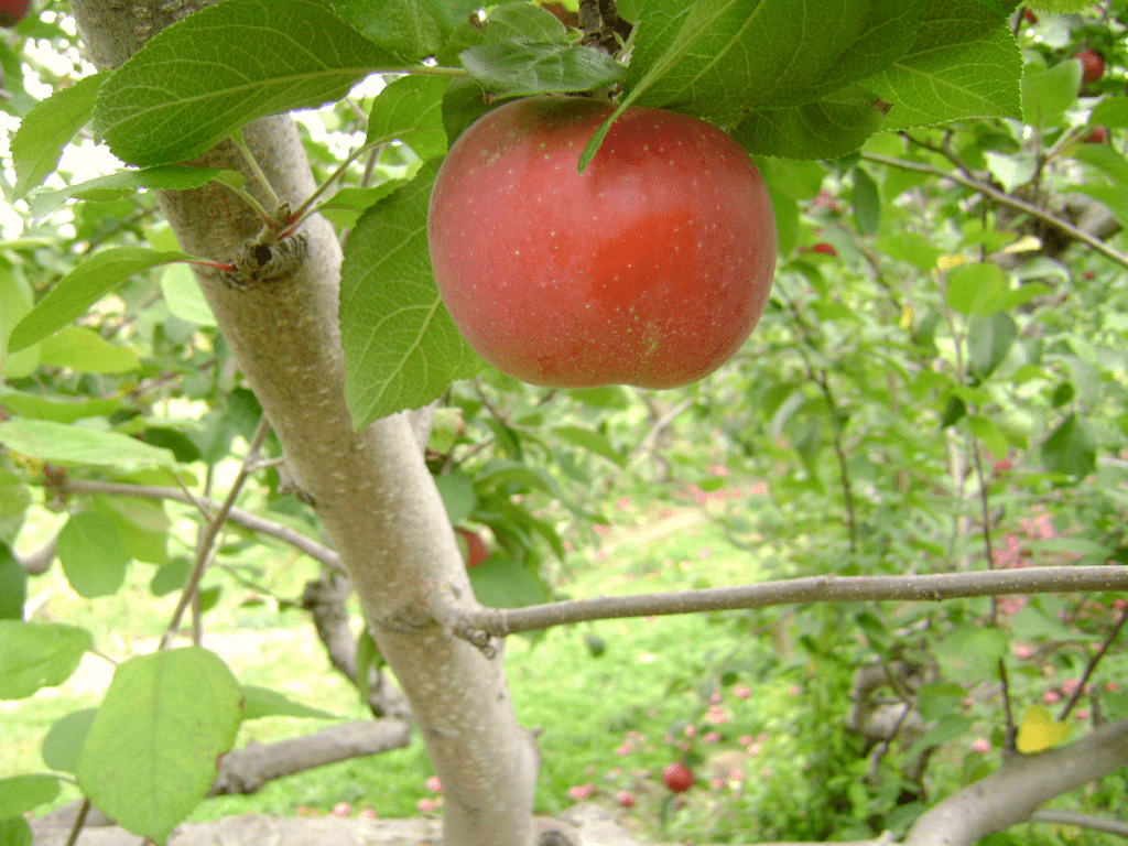 A beautiful organic fresh red apple on a tree to show the benefits of fruit gardening.