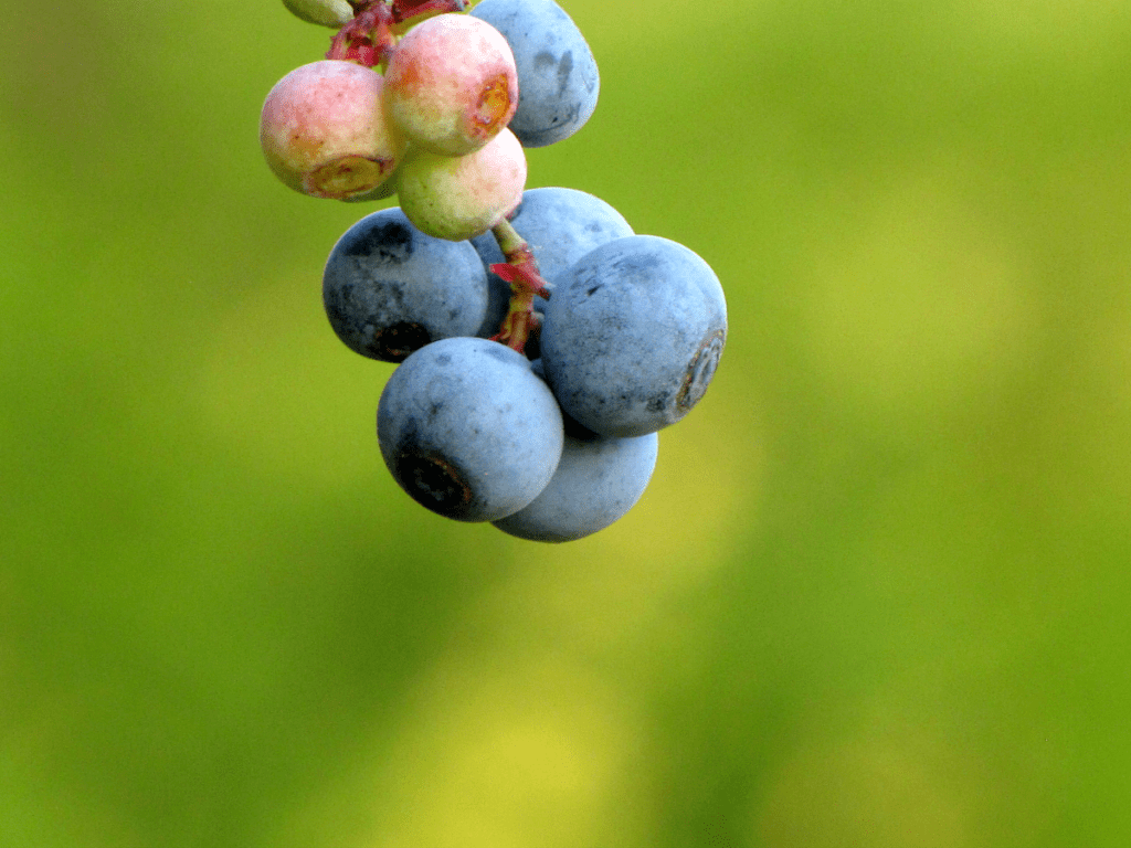 Ripe and unripe blueberries on a branch.