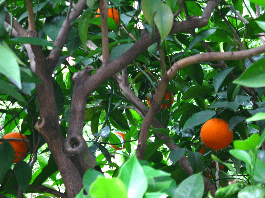 Vibrant oranges on a tree ready to be picked.