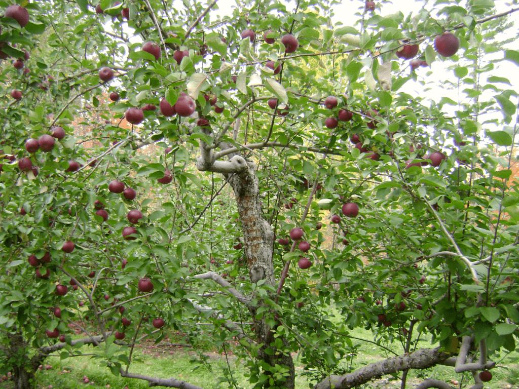 Ripe plums on a tree.